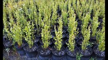 Great Wetland Trees   and   EZ to Grow Trees   Maybe you should be Planting River Birch Trees