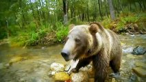 El descubrimiento de los animales salvajes ataque de Lobos vs Osos Pardos de Discovery channel documentales - 2016