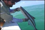 Catching Cobia 101