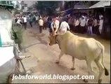 Cow 6 Feet Jump unbelievable