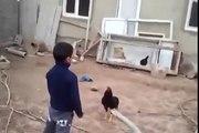 Rooster against boy Петух против мальчика