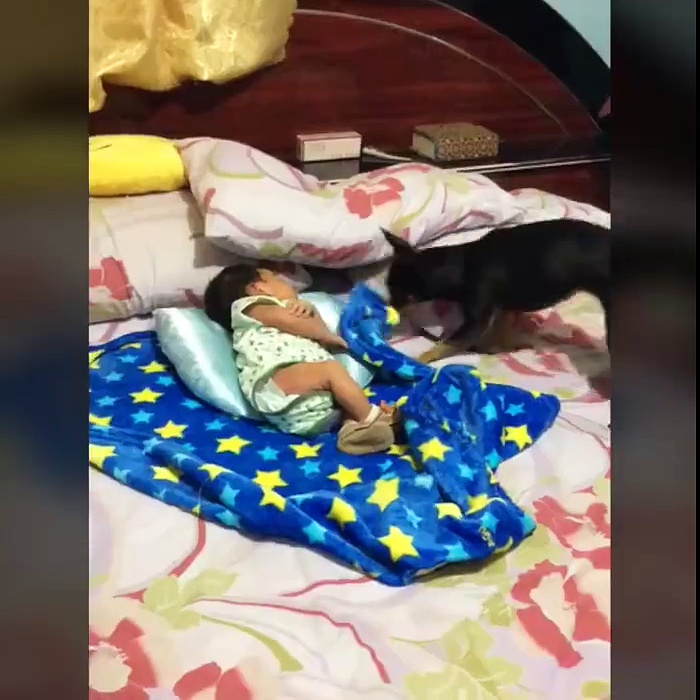 Dog tucking baby into bed