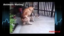 Mating Dogs 2015 - New Animal Mating - Horse Mating, Dogs Mating - New Funny Videos Hot 20