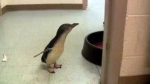 Ce jeune pingouin se précipite vers son dresseur. Et lorsqu'il l'atteint enfin... Je suis mort de rire.