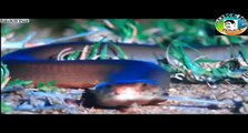 Giant Cobra attack Elephant King Cobra attack new snake videos latest animels videos upcoming videos HD animels videos top animels videos
