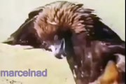 Eagle vs wolf. Attack. Wolf hunting with an eagle - YouTube[1]