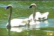 Trumpeter Swan Chicks Hatch at Brookfield Zoo