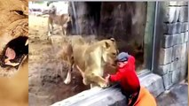 ANIMAL ATTACK : Lion attack human in circus- Lion attack Trainer
