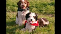 Spanish Water Dog - Video Learning - WizScience.com