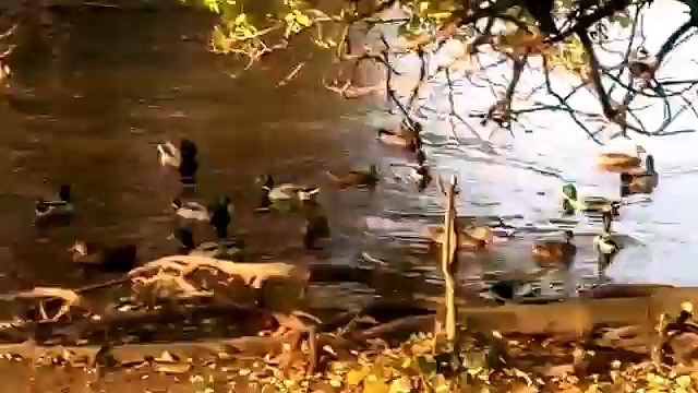 laughing ducks