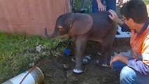 Dumbo Drain Rescue For Young Elephant
