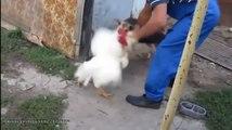 Бешеный петух против собаки
