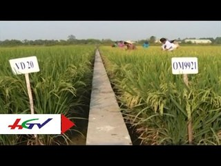 ĐBSCL nhân rộng giống lúa chịu mặn thích ứng biến đổi khí hậu   HGTV