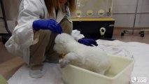 Toronto Zoo Polar Bear Cub Takes First Bath(1)
