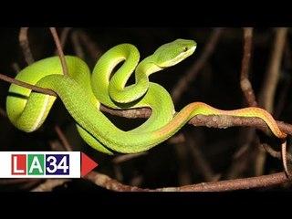 Sơ cứu thế nào khi bị rắn cắn?   LATV