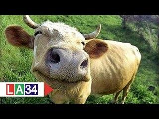 Khám phá chuyên án trộm bò số lượng lớn | LATV