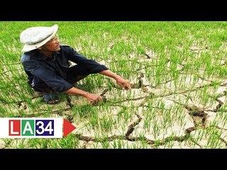 """Hạn hán nặng, cây trồng """"đói"""" nước trầm trọng   LATV"""