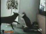 Cat fights like rocky