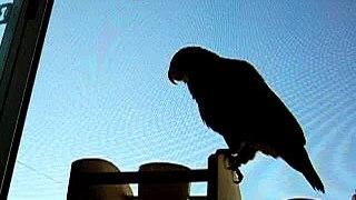 ドウバネインコの叫び声 Bronze winged Pionus