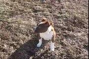 Munchkin the baby Staffy Bull Terrier