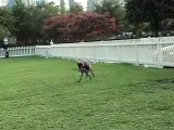 GREYHOUNDS-FLO AND FRED RUN AT THE PARK