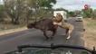 Des lions tuent un buffle à quelques mètres des touristes