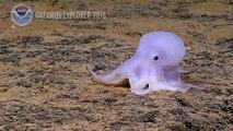 Une nouvelle espèce de pieuvre découverte