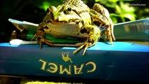 SMOKING FROGS - Rana fumar -  - курение лягушка