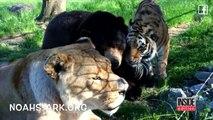 Une amitié entre un ours, un lion et un tigre dure depuis 15 ans