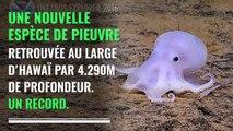 Une nouvelle espèce de pieuvre découverte au large d'Hawaï