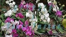 Орхидеи. Выставка орхидей в Парке Утопия. По Израилю