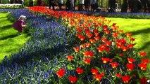 Walking in a Fantastic tulips garden Keukenhof in Holland