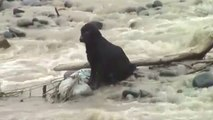 Dog rescued from river flood in Peru