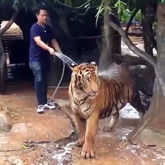 he have his good friend ever, tiger bathing