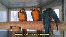 Mavi Sarı Altın Ara Papağanı