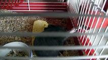 Petite sortie des Bébés hamsters