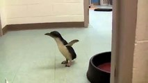 Adorable : quand un pingouin chatouilleux éclate de rire