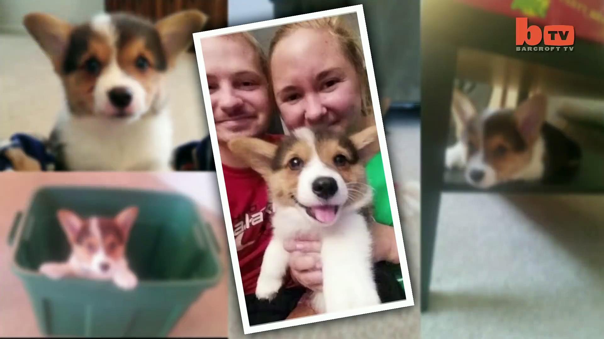 Cute Corgi Escape  Puppy Breaks Down Dog-Proof Gate