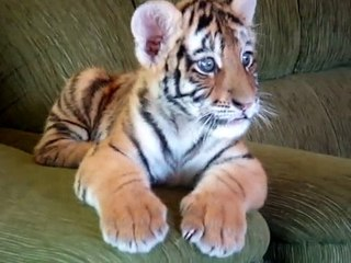 Tiger baby playing with a dog ( Mali tigar i velika čivava )