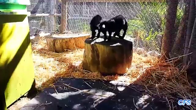 Cute Baby Pygmy Goats Compilation