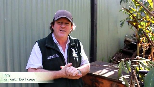 2012 Tasmanian Devil Joeys
