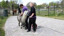Het scheren van alpaca Herman bij de Mini ZOO van Hof van Eckberge)