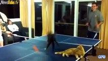 raquettes de tennis de table pour les chats !