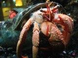 caranguejo ermitão e anemona vs polvo