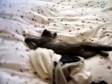 Sleepy cat wants to stay in bed just a little longer-funniest cat videos