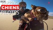 Vous avez déjà vu un chien piloter une moto? Ou faire du vélo? Voici le Zapping Chiens Pilotes