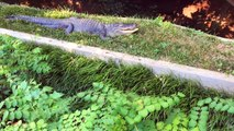 Video Of Baby Alligator Breaking Out Of Egg Goes Viral