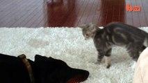 Dog Vs Cat  Cute  Ninja  Kitten Shows Doberman Who s Boss