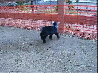 funny 2 little goats