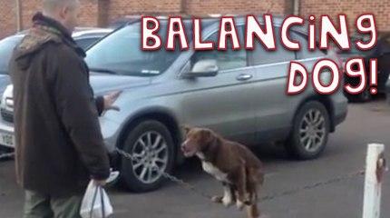 Amazing Dog Balances on Fence Chain
